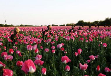 British Royal Matines patrol through a poppy field