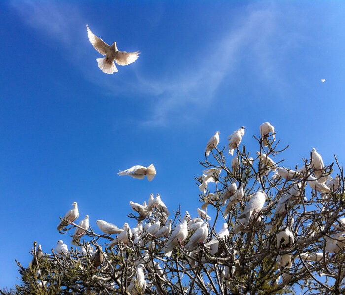 1200px-White_Doves_at_the_Blue_Mosque_(5778806606)